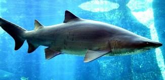 Sand_tiger_shark