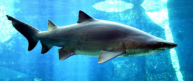 10 Fun Facts About Sand Tiger Sharks Fun Facts You Need To Know