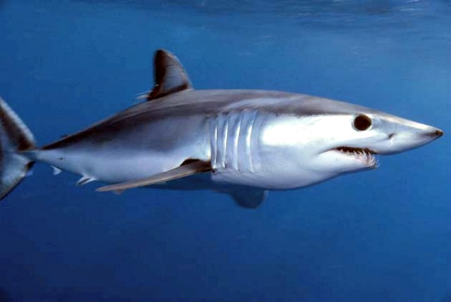 10 essential mako shark facts always learning
