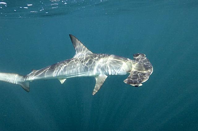 Smoot_Hammerhead_Shark