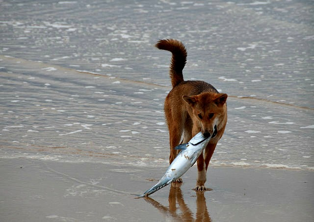 The_Dingo_Finds_a_Dead_Fish