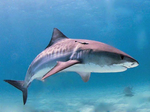 top 10 fun facts about tiger sharks always learning