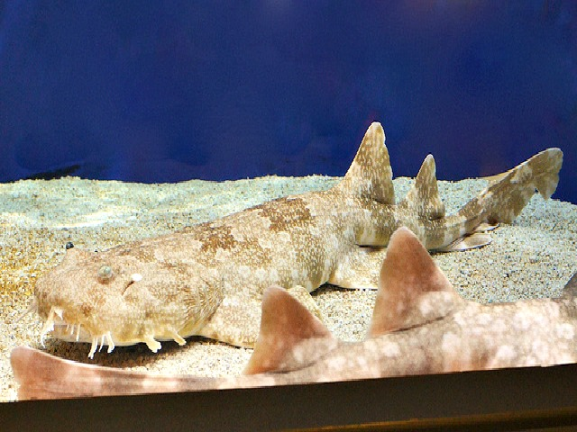 Walking Wobbegong Shark