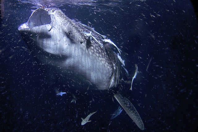 Whale_Shark_Filter_Feeder