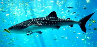 Whale_shark_Georgia_aquarium