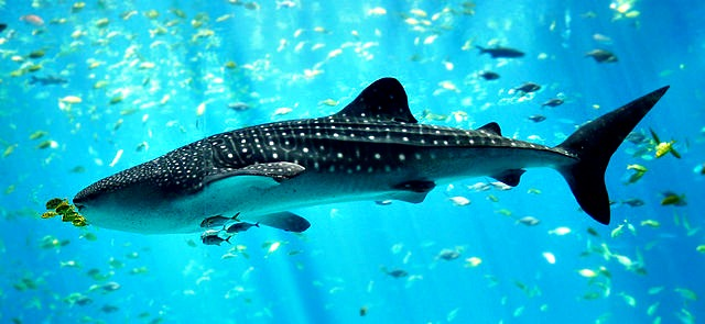 10 Fun Facts About Whale Sharks! | Fun Facts You Need to Know!
