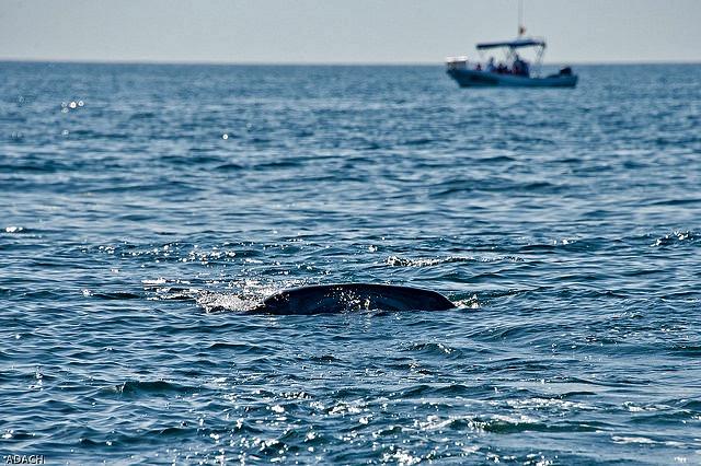 Whale_shark_near_boat