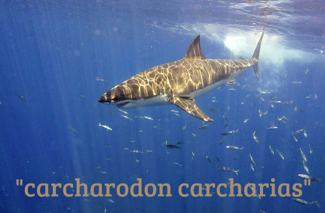 carcharodon_carcharias_great_white_shark