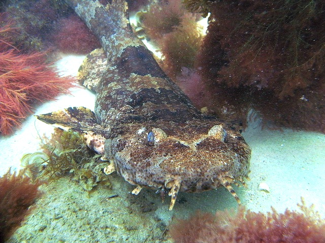 Wobbegong Sharks Are Lazy