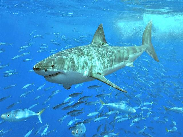 great_White_shark