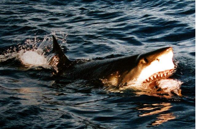 great_white_shark_feeding