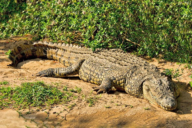 A very large old male nile crocodille. Image credit: Steve Slater (used to be Wildlife Encounters), cc2.0