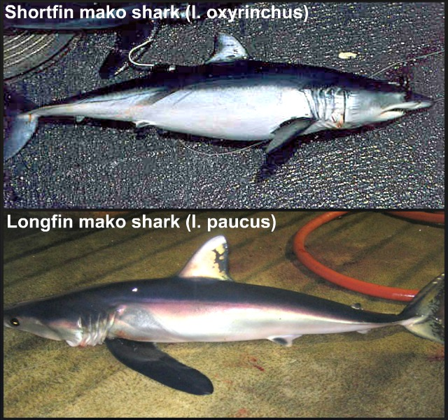 shortfin_mako_shark_Isurus_oxyrinchus_and_longfin_mako_shark_Isurus_paucus