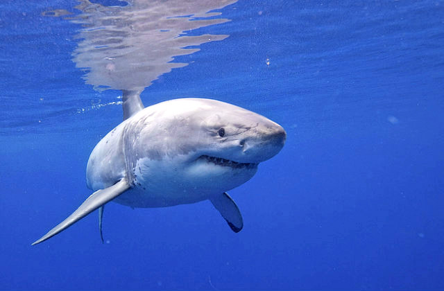 vulnerable_species_great_white_shark