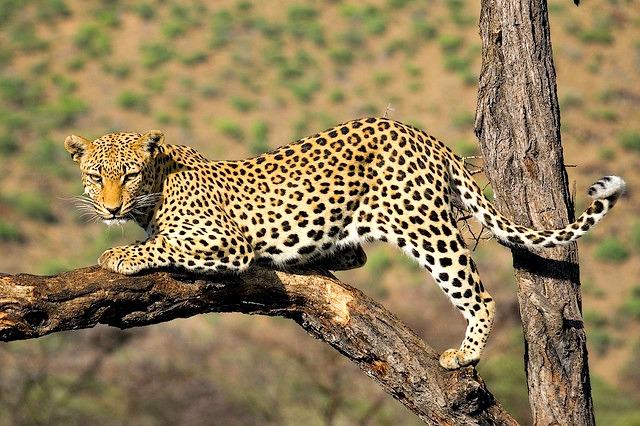 Leopard_climbs_tree