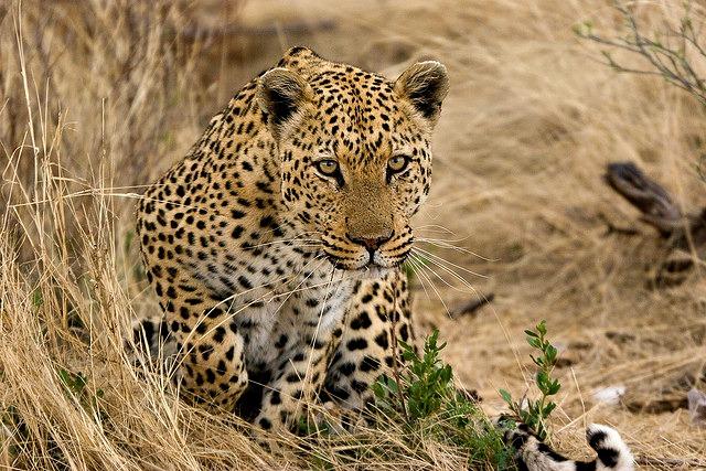 Leopard_hunting_skills