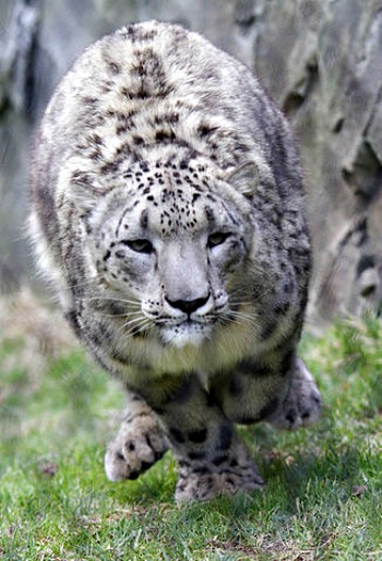 Snow_leopard_running