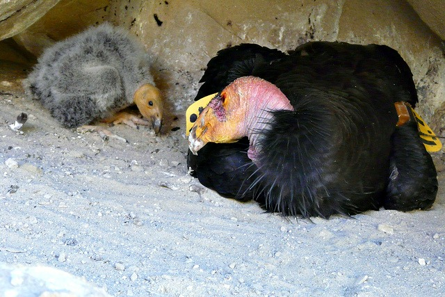 30-day old California condor chick