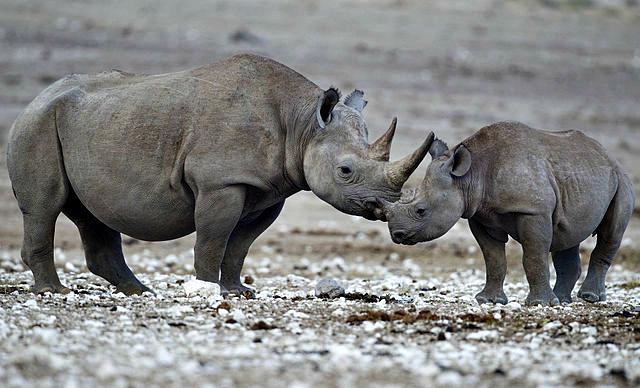 Diceros bicornis black rhino