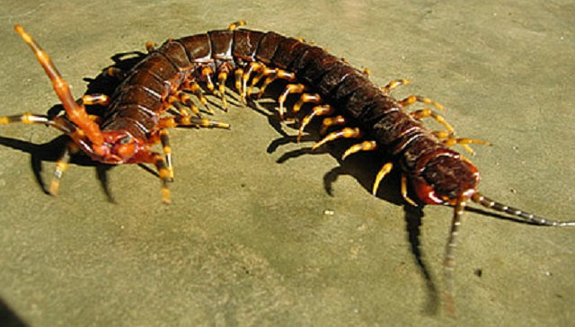 Image result for Amazon giant centipede)