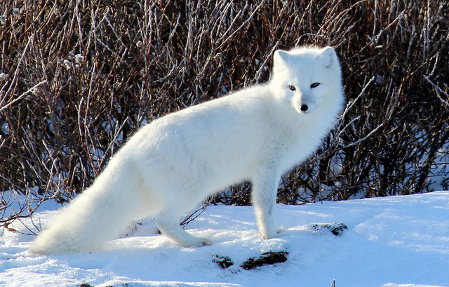 Arctic Fox Fun Facts You Need To Know