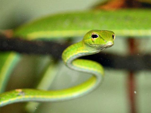 Asian_Vine_Snake