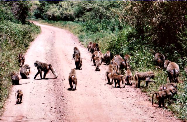 Baboon Troop