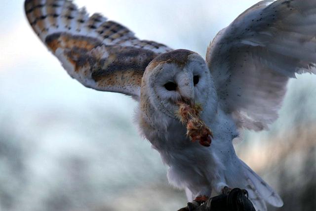 Barn Owl Eating