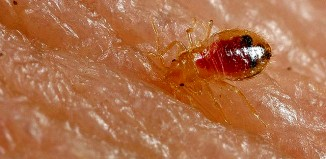 Bed bug nymph (Cimex lectularius)