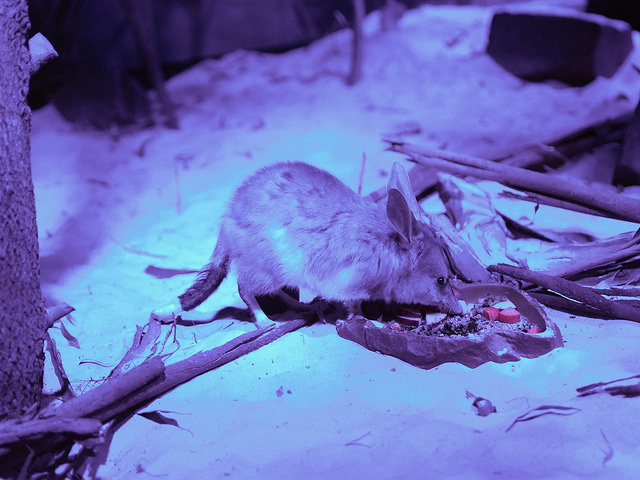 Bilby nocturnal
