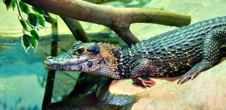 Black Caiman Melanosuchus niger