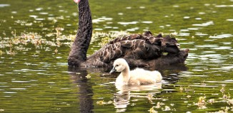 Black Swan and Cygnet