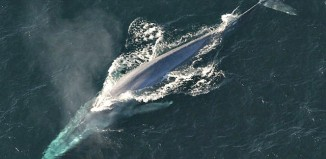 Blue Whale NOAA_Photo_Library