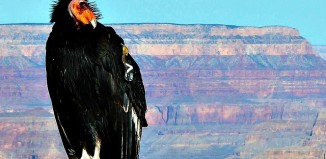 California Condor Grand Canyon