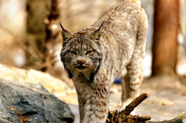 Canada Lynx Approaching