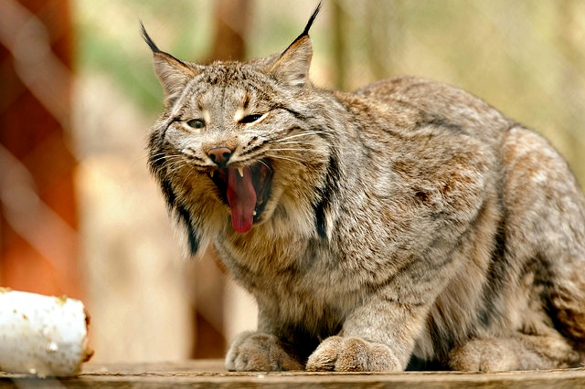 canadian lynx species adaptation and habitat Scientists predict lynx habitat will shrink in all these areas, largely because of   source: fws species status assessment of the canada lynx, 2017  may not  be able to adapt quickly enough as the timing of seasons shifts.