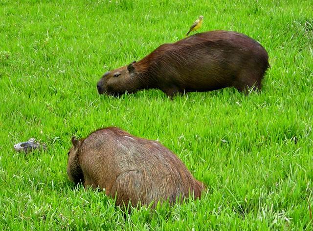 Capibara_1