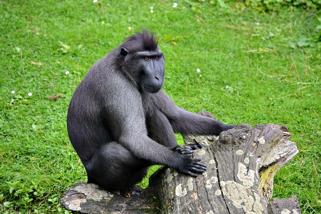 Celebes crested macaque Rotterdam Zoo