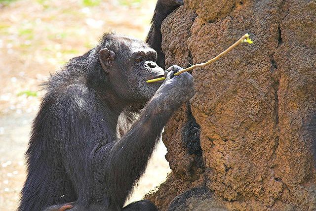 Chimpanzee eating termites
