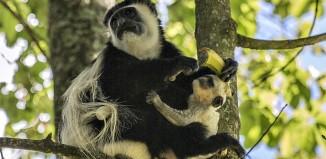 Colobus monkey, Kiambethu, Limuru, Kenya.