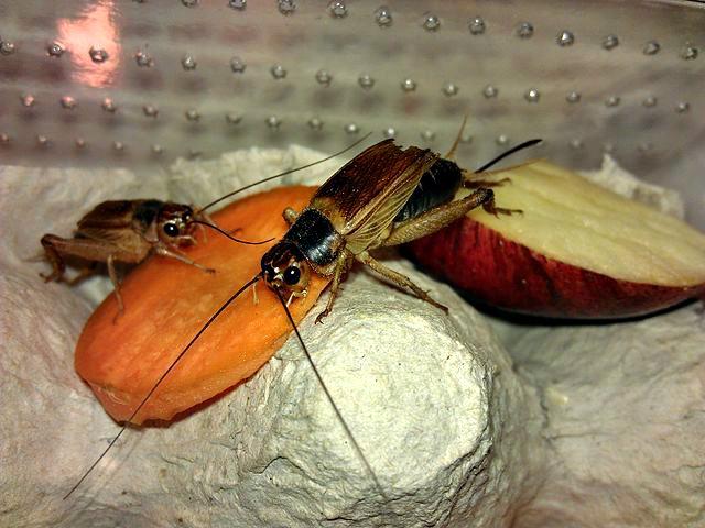 Cricket diet_Crickets_feeding_on_carrot