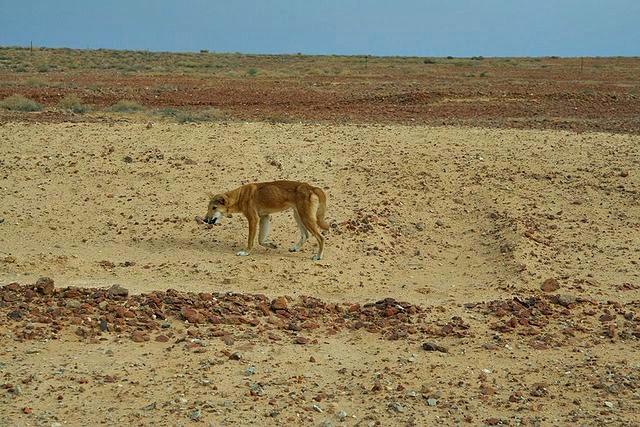 Dingo-Desert