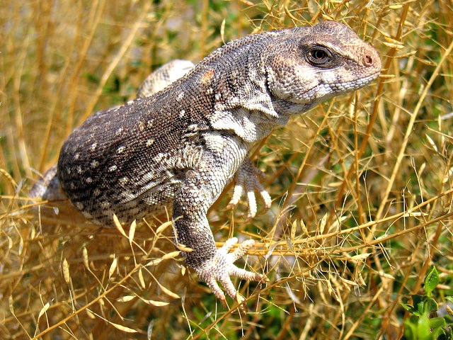 (Dipsosaurus dorsalis) Desert iguana