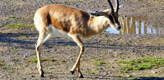 Dorcas_gazelle