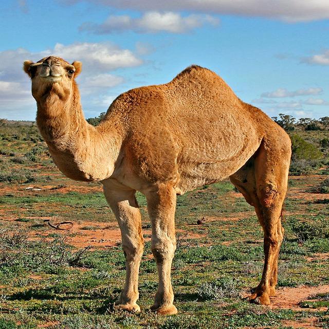 Dromedary_Camel_Profile