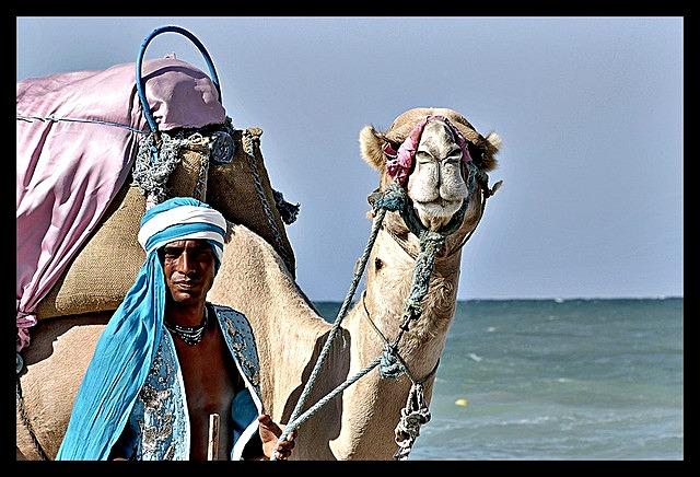 Dromedary_Camel_Transportation