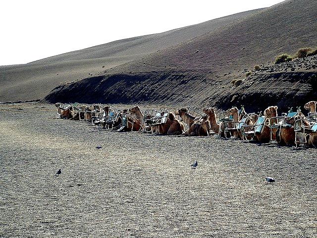 Dromedary_Camels