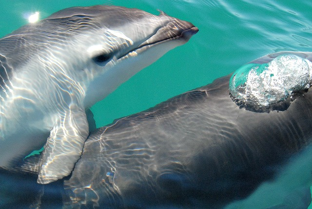 Dusky_dolphin_Lagenorhynchus_obscurus