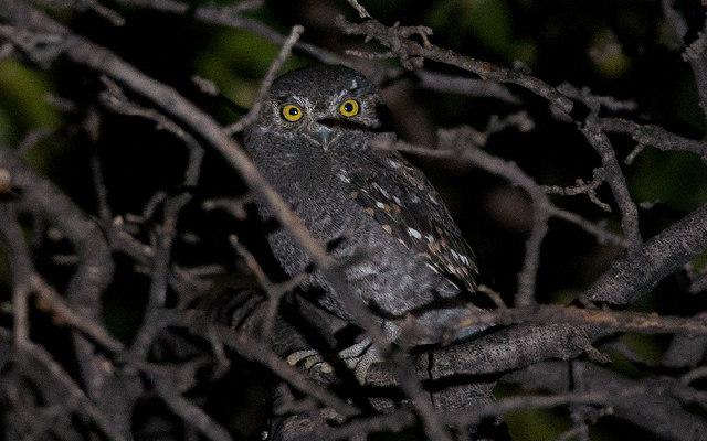 Elf_Owl