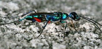 Emerald_Cockroach_Wasp_Ampulex_compressa